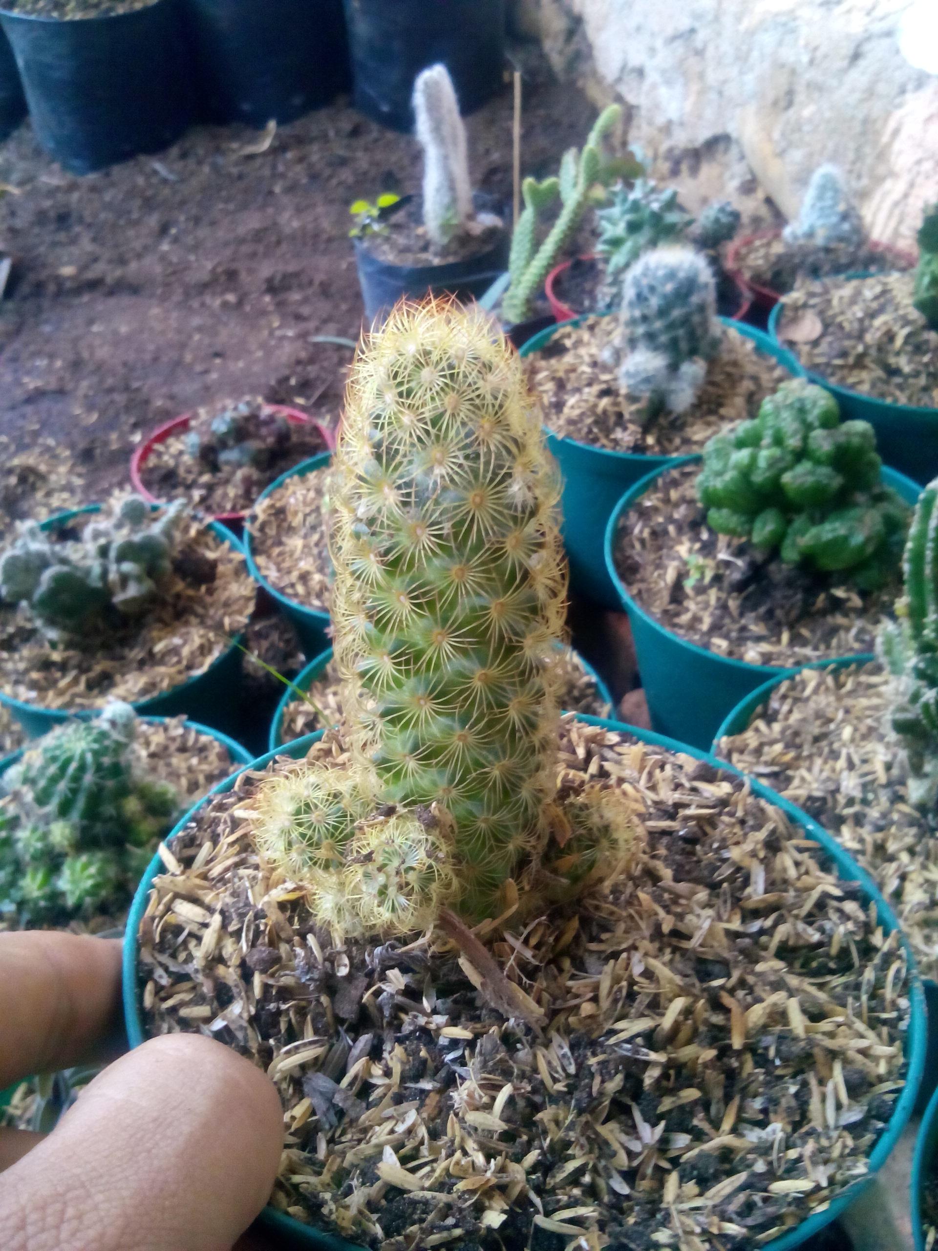 Kaktus Mini Tanaman Hias Padang